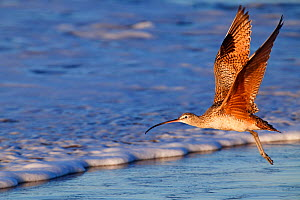 Long-Billed Curlew (Numenius americanus) in flight near the shore. San Quintin, Baja California Peninsula, Mexico, December.  -  Claudio Contreras