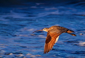 Long-Billed Curlew (Numenius americanus), San Quintin, Baja California Peninsula, Mexico, December.  -  Claudio Contreras