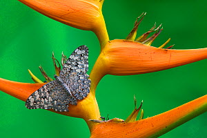 Gray Cracker Butterfly (Hamadryas februa) on Heliconia sp. flower, Dzibilchaltun, Yucatan Peninsula, Mexico, August.  -  Claudio Contreras