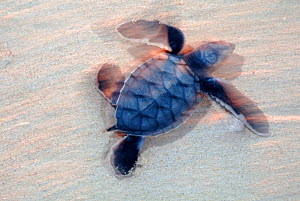 Green Turtle (Chelonia mydas) hatchling on its way to the sea, Ria Lagartos Biosphere Reserve, Yucatan Peninsula, Mexico, August. Endangered species. - Claudio Contreras