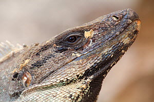 Common Spiny-Tailed Iguana (Ctenosaura similis), Uxmal, Yucatan Peninsula, Mexico, October.  -  Claudio Contreras