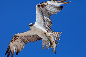 Osprey (Pandion haliaetus) flying with fish prey, Ria Lagartos Biosphere Reserve, Yucatan Peninsula, Mexico, August.  -  Claudio Contreras