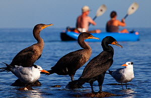 Double-Crested Cormorant (Phalacrocorax auritus), Royal Tern (Sterna maxima) and tourists canoeing in background, El Requeson, Gulf of California, Baja California Peninsula, Mexico, December. (Digital...  -  Claudio Contreras