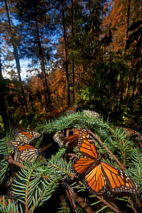 Monarch butterfly (Danaus plexippus) hibernating in Sacred Fir (Abies religiosa) forest, Mariposa Monarca Special Biosphere Reserve, central Mexico, January.  -  Claudio Contreras
