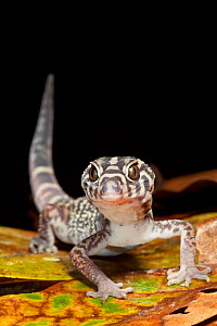 Yucatan banded gecko (Coleonyx elegans), El Mirador-Rio Azul National Park, Department of Peten, Guatemala, October.  -  Claudio Contreras