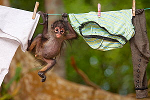 Central American Spider Monkey (Ateles geoffroyi) orphan baby hanging from washing line.  El Mirador- Rio Azul National Park, Department of Peten, Guatemala.  -  Claudio Contreras