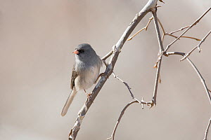 Dark-Eyed Junco (Junco hyemalis) perched, Los Ojos Ranch, Sonora, northwestern Mexico, February.  -  Claudio Contreras