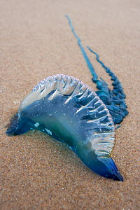 Portugese Man-Of-War (Physalia physalis) stranded on beach, Boca Chica, Texas, USA, February.  -  Claudio Contreras
