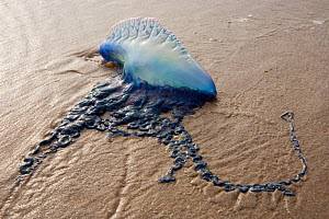 Portugese Man-Of-War (Physalia physalis) stranded on beach, Boca Chica, Texas, USA February.  -  Claudio Contreras