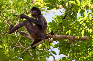 Central American Spider Monkey (Ateles geoffroyi) in tree, Punta Laguna, Otoch Ma'ax Yetel Kooh Reserve, Yucatan Peninsula, Mexico, October. Endangered species.  -  Claudio Contreras