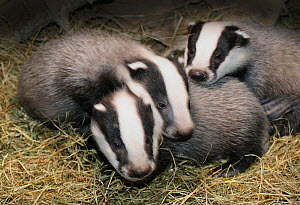 Badger (Meles meles) cubs at seven weeks, Captive.  -  Andrew Cooper