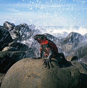 Marine Iguana (Amblyrhynchus cristatus) on rocks with wave splash. Galapagos, Ecuador.  -  Andrew Cooper