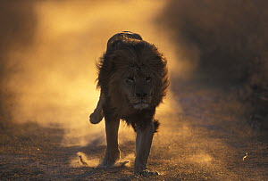 Lion (Panthera Leo) male running, South Africa taken on location for 'Pride' tv series. - John Downer