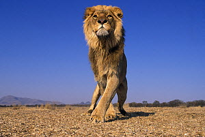 Lion  (Panthera Leo) male, low angle shot, South Africa. Taken on location for 'Pride' tv series.  -  John Downer