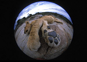 Lion cub (Panthera Leo) resting, fisheye shot Masai Mara, Kenya, Africa. Taken on location for 'Pride' tv series. - John Downer