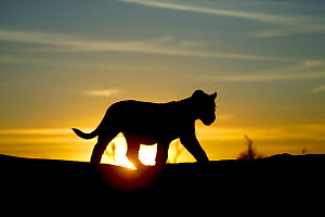 Lion cub (Panthera leo) silhouetted at sunrise,  taken on location for 'Pride' tv series. September 2003 - John Downer