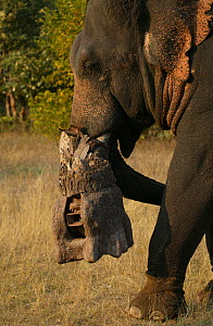 'Tusk cam' camera mounted onto domesticated elephant (Elephas maximus) tusk to film Bengal tigers, Pench National Park, Madhya Pradesh, India, taken on location for 'Tiger - Spy in the Jungle' Decembe... - John Downer