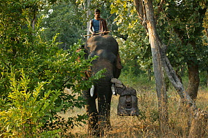 'Tusk cam' camera mounted onto domesticated elephant (Elephas maximus) tusk to film bengal tigers, Pench National Park, Madhya Pradesh, India, taken on location for 'Tiger - Spy in the Jungle'. Decemb... - John Downer
