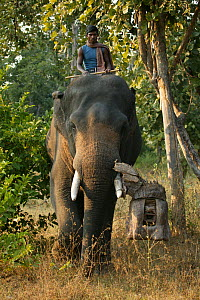 'Tusk cam' camera mounted onto domesticated elephant (Elephas maximus) tusk to film bengal tigers,  Pench National Park, Madhya Pradesh, India, taken on location for 'Tiger - Spy in the Jungle'. Decem... - John Downer