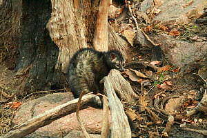 Asian palm civet (Paradoxurus hermaphroditus) taken on location for 'Tiger - Spy in the Jungle' March 2007  -  John Downer