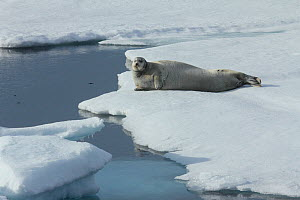 Bearded seal (Erignathus barbatus) resting on edge of ice, Svalbard, Norway, taken on location for 'Polar Bear : Spy on the Ice' August 2010 - John Downer