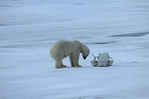 Polar bear (Ursus maritimus) investigating 'Blizzard cam' used for remote filming, Svalbard, Norway, taken on location for 'Polar Bear : Spy on the Ice' August 2010  -  John Downer