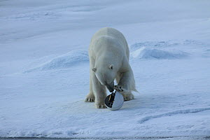 Polar bear (Ursus maritimus) investigating 'Snowball cam' a remote camera used for filming polar bears, Svalbard, Norway, taken on location for 'Polar Bear : Spy on the Ice' August 2010  -  John Downer