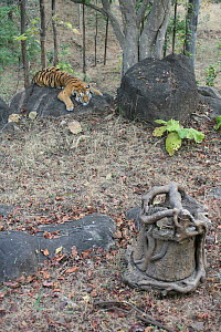 Bengal Tiger (Panthera tigris tigris) juvenile female resting with 'log cam' a remote camera in the foreground filming, Pench National Park, Madhya Pradesh, India, taken on location for 'Tiger - Spy i...  -  John Downer