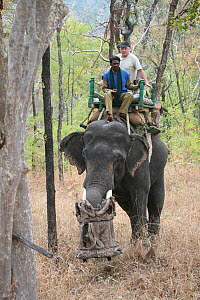 'Tusk cam' camera mounted onto domesticated elephant (Elephas maximus) tusk to film Bengal tigers, riden by film makers, Pench National Park, Madhya Pradesh, India, taken on location for 'Tiger - Spy...  -  John Downer
