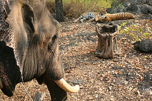 Bengal Tigers (Panthera tigris tigris) resting, filmed by 'log-cam' remote camera controlled from domesticated Asian Elephant (Elephas maximas) Pench National Park, Madhya Pradesh, India, taken on  lo...  -  John Downer