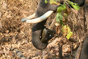 'Trunk cam' remote camera held in the trunk of domesticated elephant (Elephas maximus) tusk to film bengal tigers, Pench National Park, Madhya Pradesh, India, taken on location for 'Tiger - Spy in the...  -  John Downer