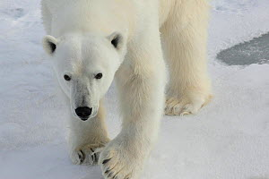 Polar bear (Ursus maritimus) Svalbard, Norway, taken on location for 'Polar Bear : Spy on the Ice' August 2010  -  JDP / Philip Dalton