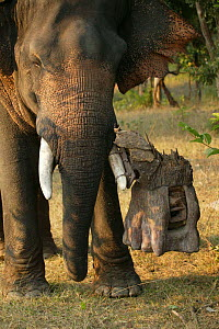 'Tusk cam' remote camera mounted onto domesticated elephant (Elephas maximus) tusk to film bengal tigers, Pench National Park, Madhya Pradesh, India, taken on location for 'Tiger - Spy in the Jungle'...  -  John Downer