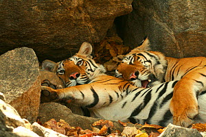 Bengal Tigers (Panthera tigris tigris) resting in the shade  national park, India, taken on location for 'Tiger - Spy in the Jungle' March 2007 - John Downer