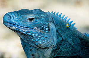 Grand Cayman Blue Iguana (Cyclura lewisi), adult that has been reintroduced to the wild from captive breeding programme. Endangered species.  -  Roland Seitre