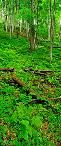 Beech trees (Fagus sylvatica) in old growth forest, with Lady ferns (Athyrium filix-femina )in the foreground. Runcu Valley, Dambovita County, Leota Mountain Range, Romania, vertical panoramic, July - Wild Wonders of Europe / Bartocha