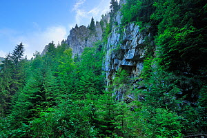 Fir trees (Abies sp) near a rock face, Crovul Valley Gorge, Arges County, Leota Mountain Range, Romania, July, 2011 - Wild Wonders of Europe / Bartocha