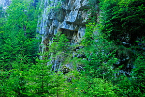 Cliff face surrounded by fir trees (Abies sp) Crovul Valley Gorge, Arges County, Leota Mountain Range, Romania, July - Wild Wonders of Europe / Bartocha