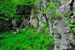Bellflower (Campanula sp) growing between cracks in the rock face, Crovul Valley Gorge, Arges County, Leota mountain range, Carpathian Mountains, Romania, July  -  Wild Wonders of Europe / Bartocha