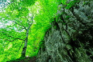 Cliff face with beech trees (Fagus sylvatica) Crovul Valley Gorge, Arges County, Leota Mountain range, Carpathian Mountains, Romania, July - Wild Wonders of Europe / Bartocha