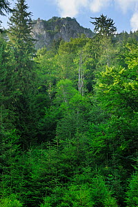 Fir trees (Abies sp.) Ghimbavul Valley Gorge, Arges County, Leota Mountains, Carpathian Mountains, Romania, July - Wild Wonders of Europe / Bartocha