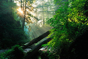 Rays of sunlight penetrating forest in Ghimbavul Valley Gorge, Arges County, Leota Mountains, Carpathian Mountains, Romania, July - Wild Wonders of Europe / Bartocha