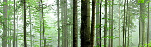 Panoramic of misty pristine Beech (Fagus sylvatica) and Fir (Abies sp) forest, Stramba Valley, Fagaras Mountains, Southern Carpathians, Romania, July. Natura 2000 site - Wild Wonders of Europe / Bartocha