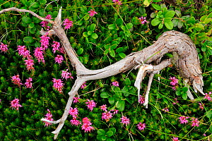 Heather (Erica sp) and Cowberrry (Vaccinium vitis-idaea) with fallen branch, Arges county, Carpathian Mountains, Romania, July  -  Wild Wonders of Europe / Bartocha