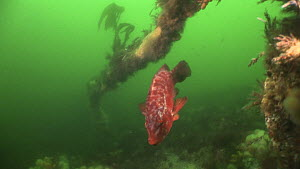 Ballan wrasse (Labrus bergylta) swimming near the wreck of the Endeavour, Kirkwall Bay, Orkney, Scotland, UK, June.  -  Andy  Jackson / 2020VISION