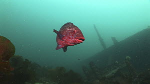 Ballan wrasse (Labrus bergylta) swimming near the wreck of the Jane, Fetlar, Shetland, Scotland, UK, June.  -  Andy  Jackson / 2020VISION