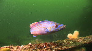 Male Cuckoo wrasse (Labrus mixtus) swimming near the Endeavour wreck, Kirkwall Bay, Orkney, July 2012.  -  Andy  Jackson / 2020VISION