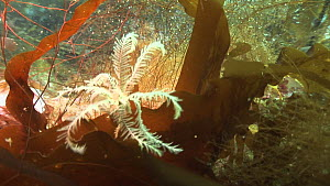 Pale yellow Rosy feather-star (Antedon bifida) moving quickly, Giants Legs sea stack, Shetland, Scotland, UK, July.  -  Andy  Jackson / 2020VISION