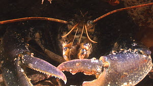 European lobster (Homarus gammarus) displaying claws and hiding in crevice, Lochgary Wreck, Kirkwall, Orkney, Scotland, UK, July.  -  Andy  Jackson / 2020VISION