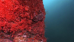 Edible crab (Cancer pagurus) walking up a vertical wall covered by a colony of Baked-bean ascidians (Dendrodoa grossularia), Noup Head, Westray, Orkney, Scotland, UK, June.  -  Andy  Jackson / 2020VISION